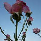 Roses in the sky by mowieb