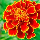 Orange and yellow Flower by gillyisme53