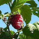Raspberry dreaming by mowieb