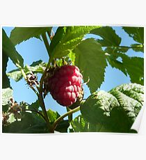 Raspberry dreaming Poster