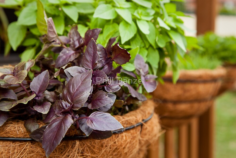 Purple basil and other herbs by Phill Danze