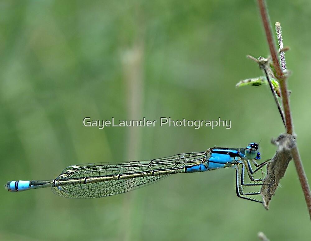 Damselfly Blue by GayeLaunder Photography