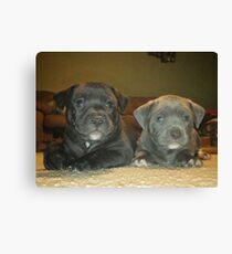 pit bull babies Canvas Print