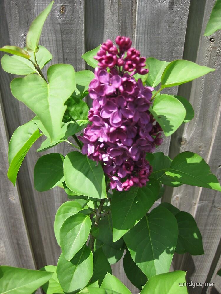 Lilac by windycorner