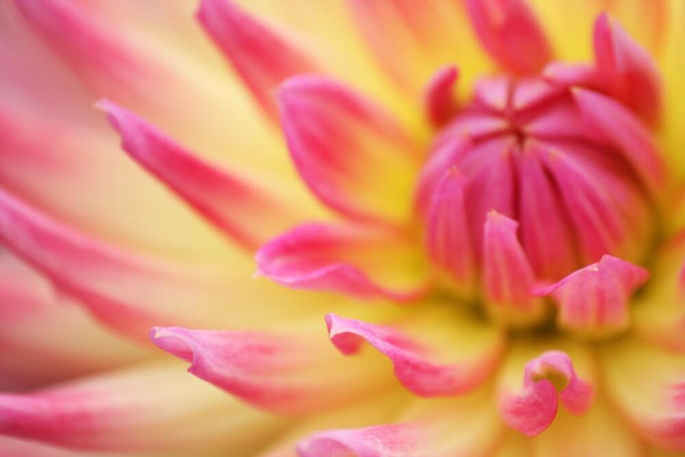 Pink & Lemon by SuzyFoo