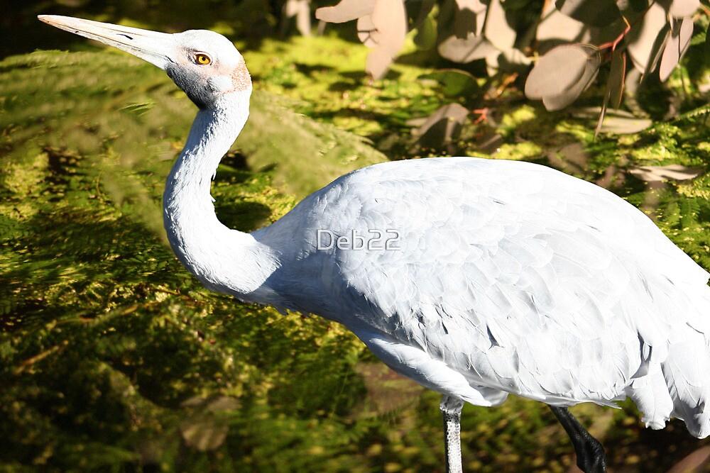 Brolga bird, Australia by Deb22