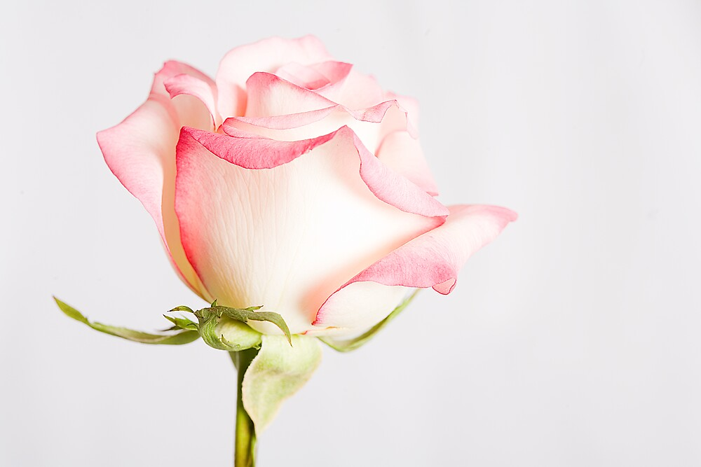 High Key Rose by Chesil