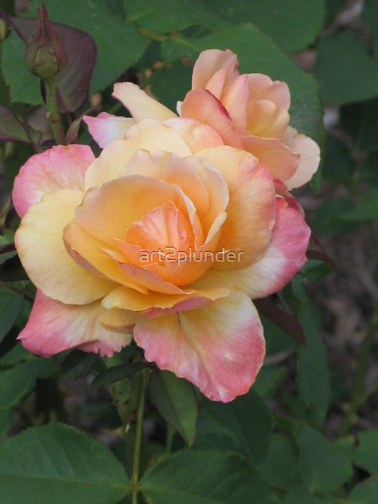 Pink and Yellow Roses by art2plunder
