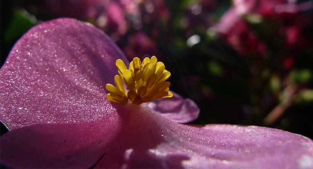 Glittering Begonia by MacroMarcie