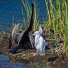 Snowy with Anhinga in background by TJ Baccari Photography