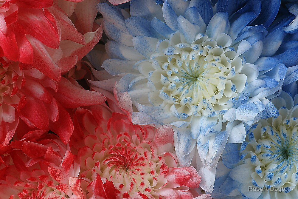 Chrysanthemums - Red, White, and Blue by Robert Dayton