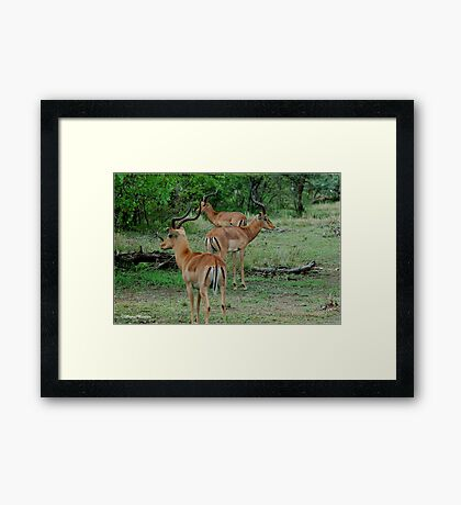 THREE OF A KIND - BLACK-FACED IMPALA _Aepyceros melampus petersi Framed Print