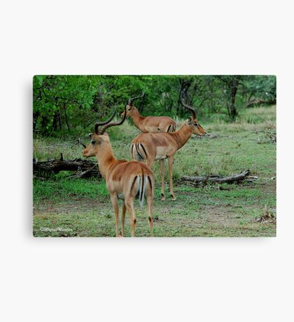 THREE OF A KIND - BLACK-FACED IMPALA _Aepyceros melampus petersi Canvas Print