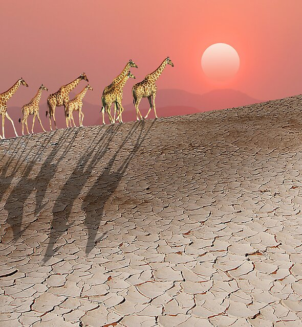 DAMARALAND SUNSET WITH GIRAFFES by Michael Sheridan