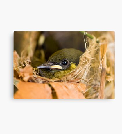 Ready to Fly - honey eater chick Metal Print
