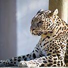 leopard 4 by nakomis
