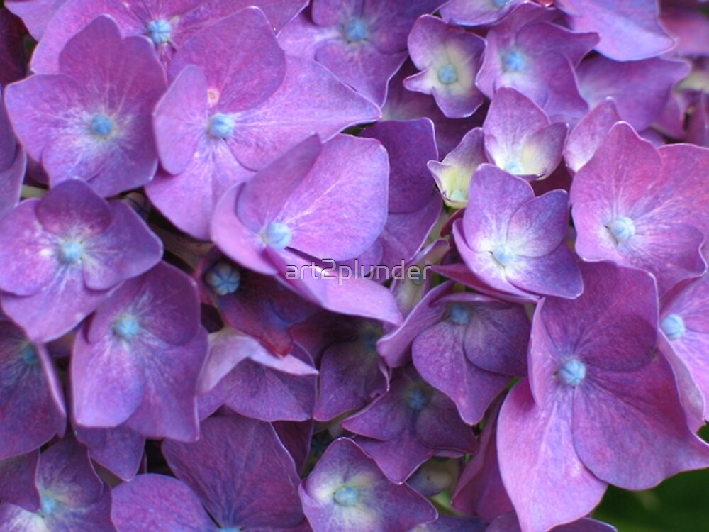 Purple Hydrangea by art2plunder