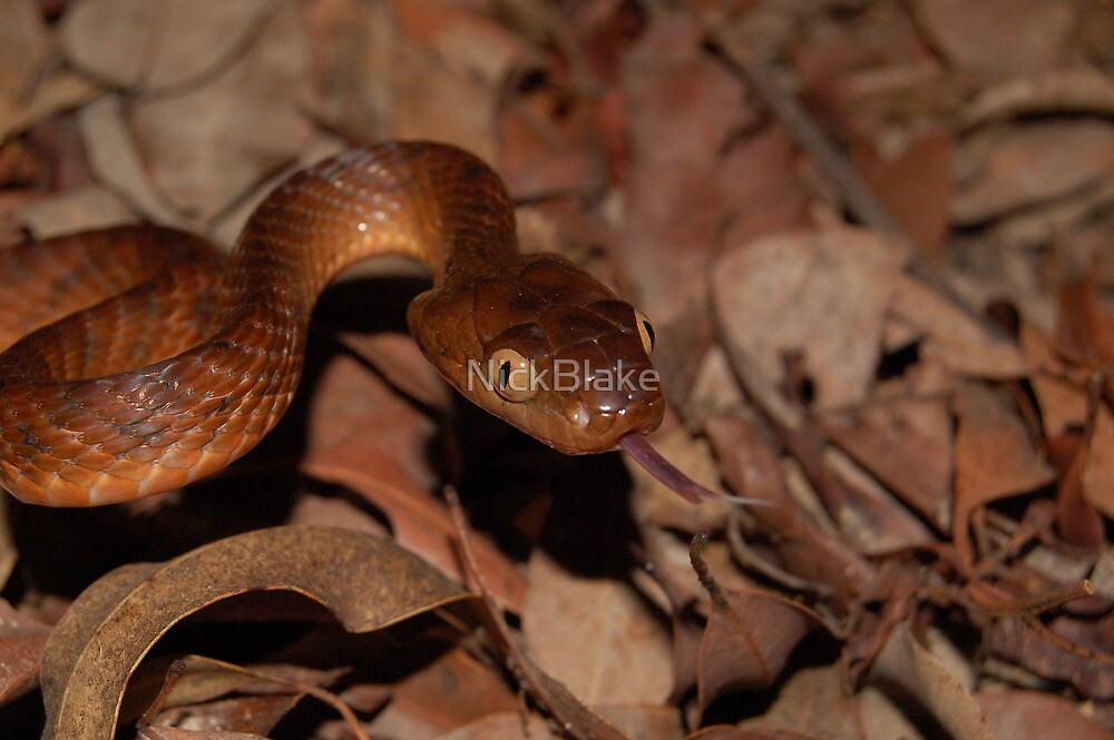 Brown Tree Snake by NickBlake