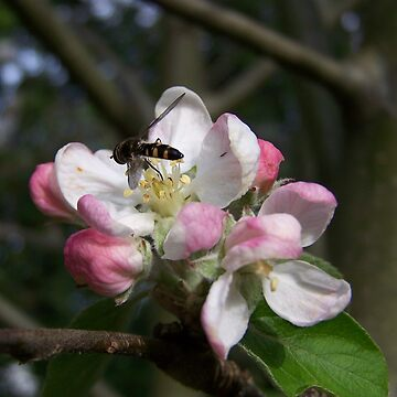 Apple Blossom & Bush Bee by heyitsmefi