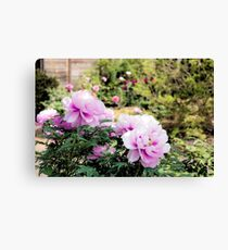 Pink flowers of Peony Canvas Print