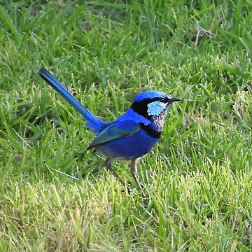 Blue wren 4 by JuliaKHarwood