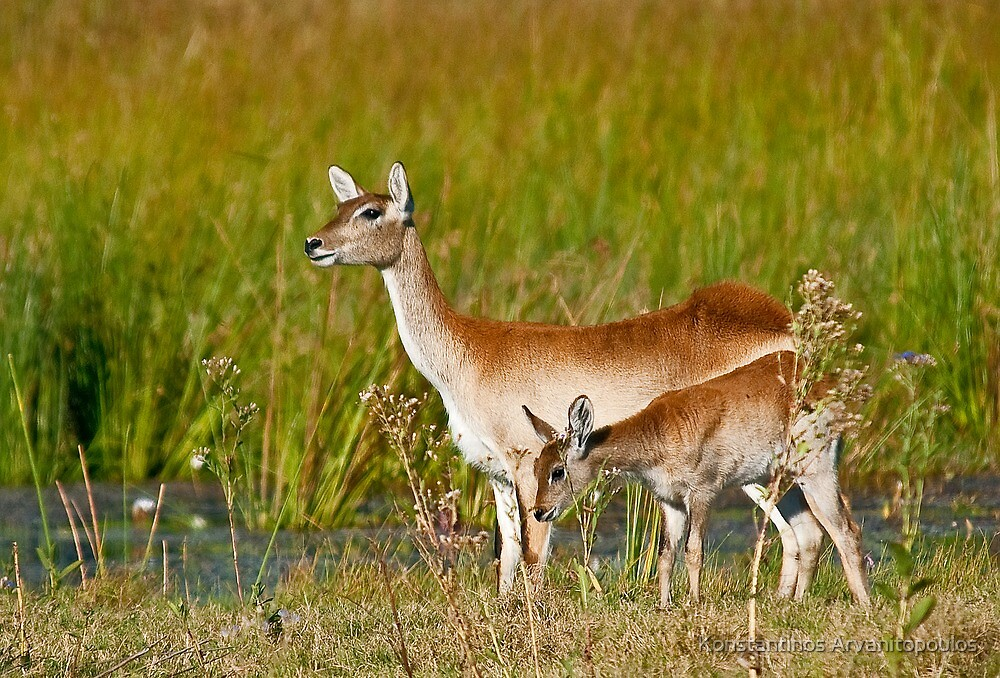Red Lechwe (Kobus leche) by Konstantinos Arvanitopoulos