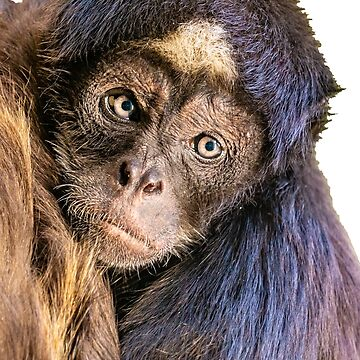 The Magical face of a Brown Spider Monkey by Dalyn