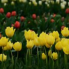 Bright & Beautiful Tulips by imaginethis