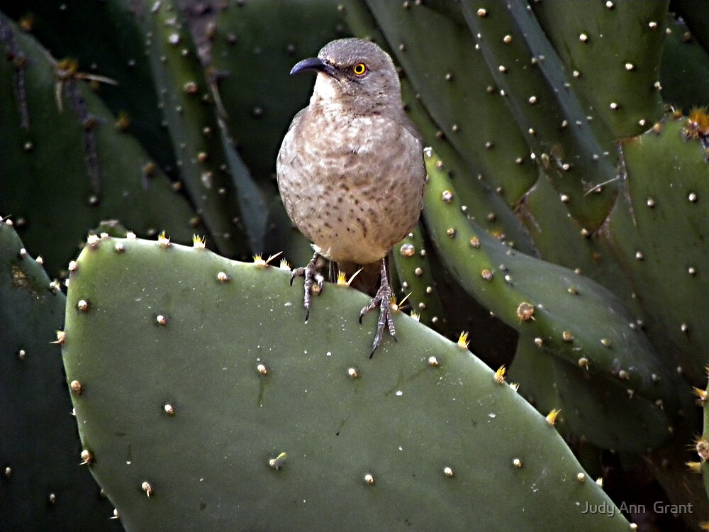 The Curve-billed Thraser  by Judy Ann  Grant