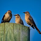 Three Grackles by TJ Baccari Photography