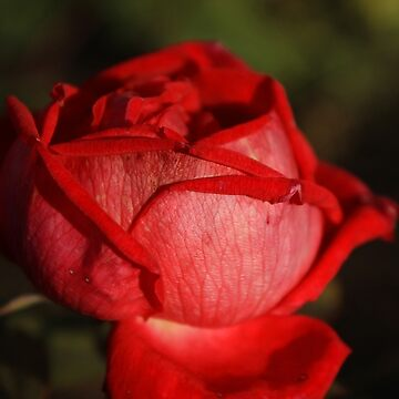 Red Rose Flower by rhamm