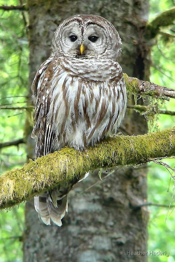 Barred Owl by Heather Haderly