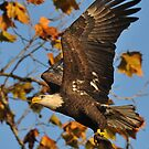 Eagle With Fish, My first Capture by angelcher
