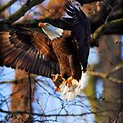 Eagle in flight with Fish by angelcher