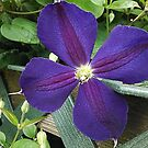 Climbing Clematis by Monnie Ryan