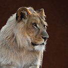 Young Male Lion Portrait by DebiDalio