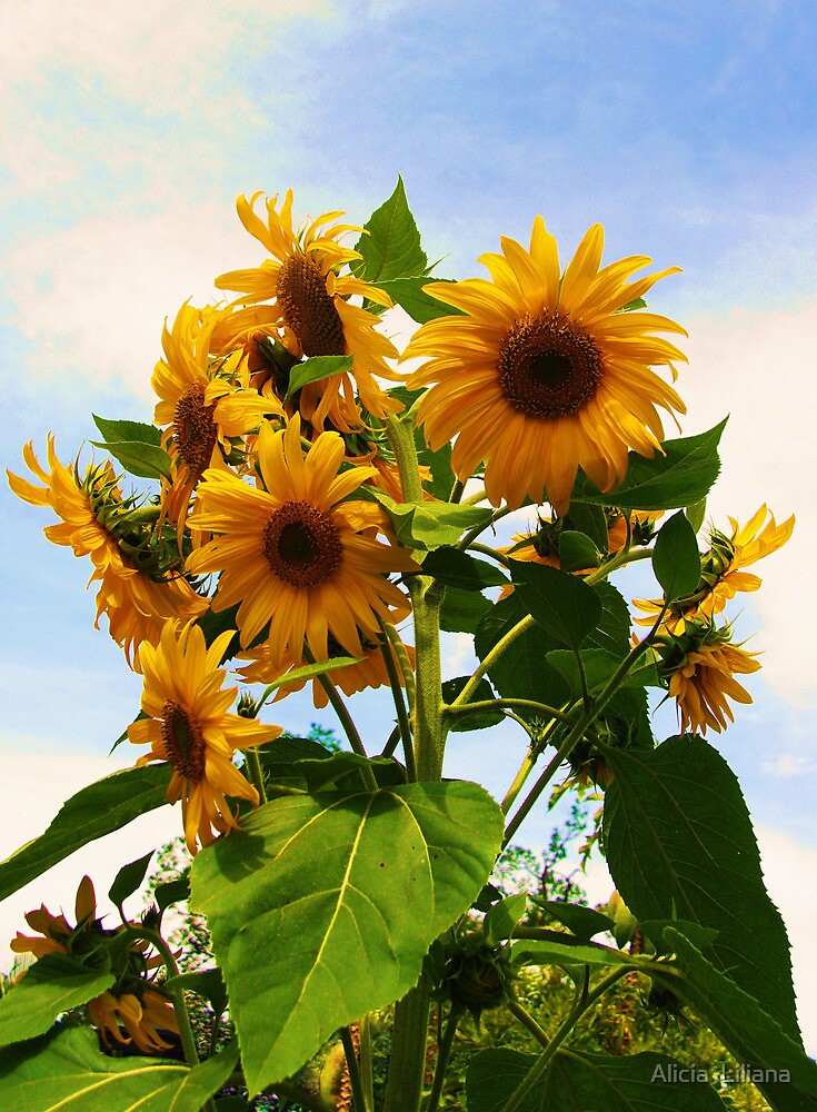 Sunflowers by Alicia  Liliana