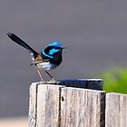 Blue Wren at Tura Beach by Jackie  Smith