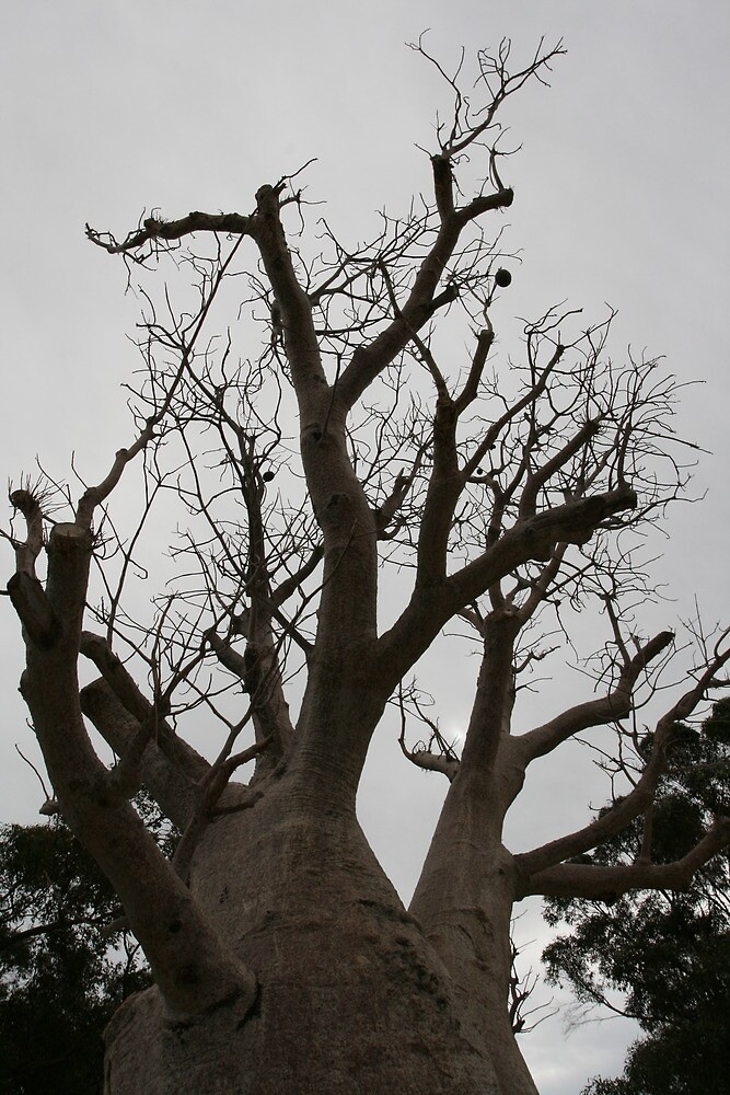 boab tree, King's Park, Perth by margc