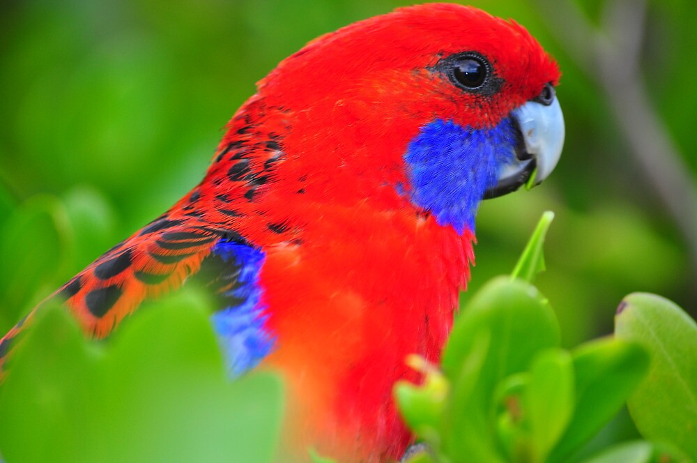 Crimson Rosella up close by Jackie  Smith