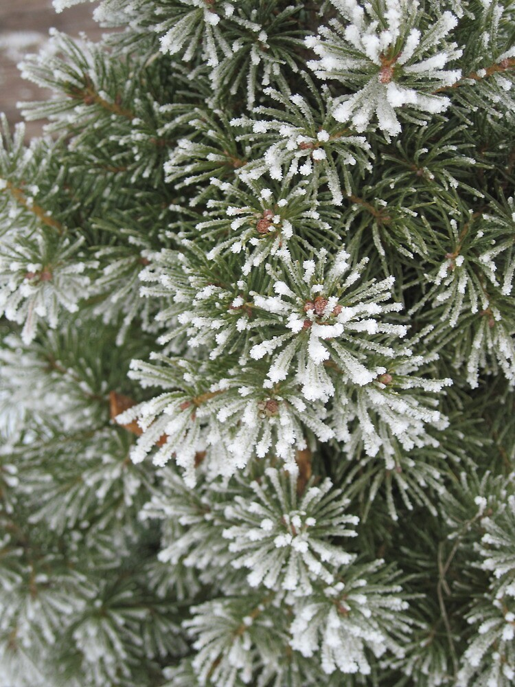 Frost on Evergreen Needles - Mansfield, Washington by tompaine