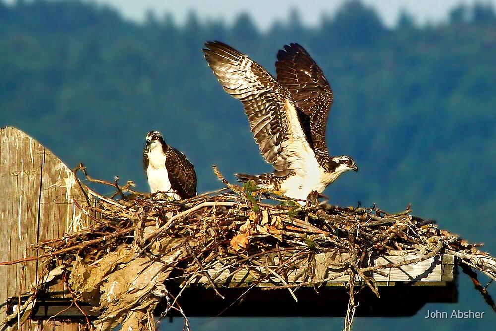 Maiden Flight - Osprey Chicks Leaving The Nest by John Absher