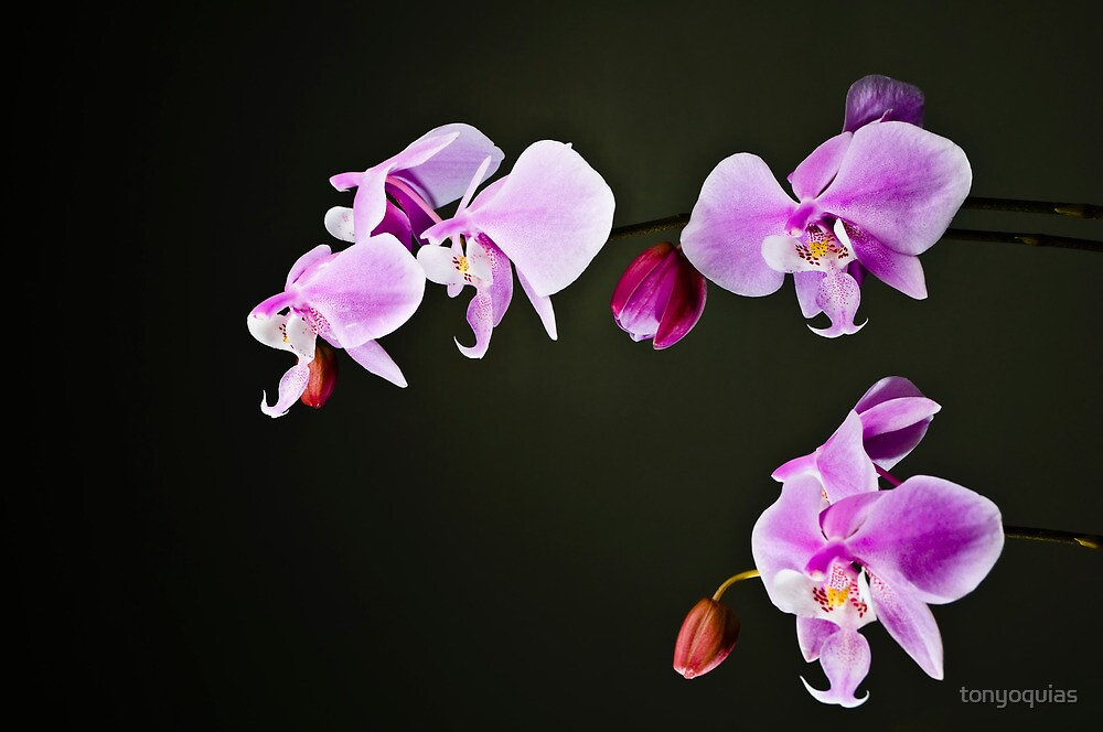 Orchid by tonyoquias