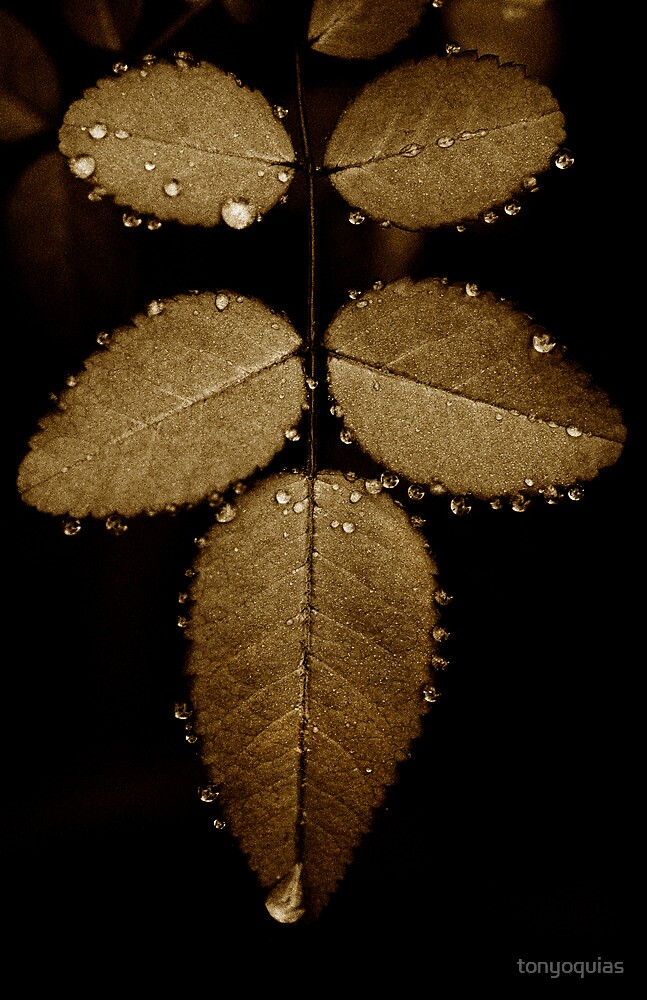 Dew on rose leaves by tonyoquias