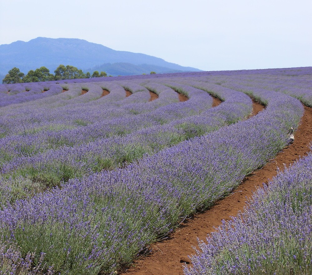 Bridestowe Estate lavender farm, Nabowla, Tasmania. by gaylene