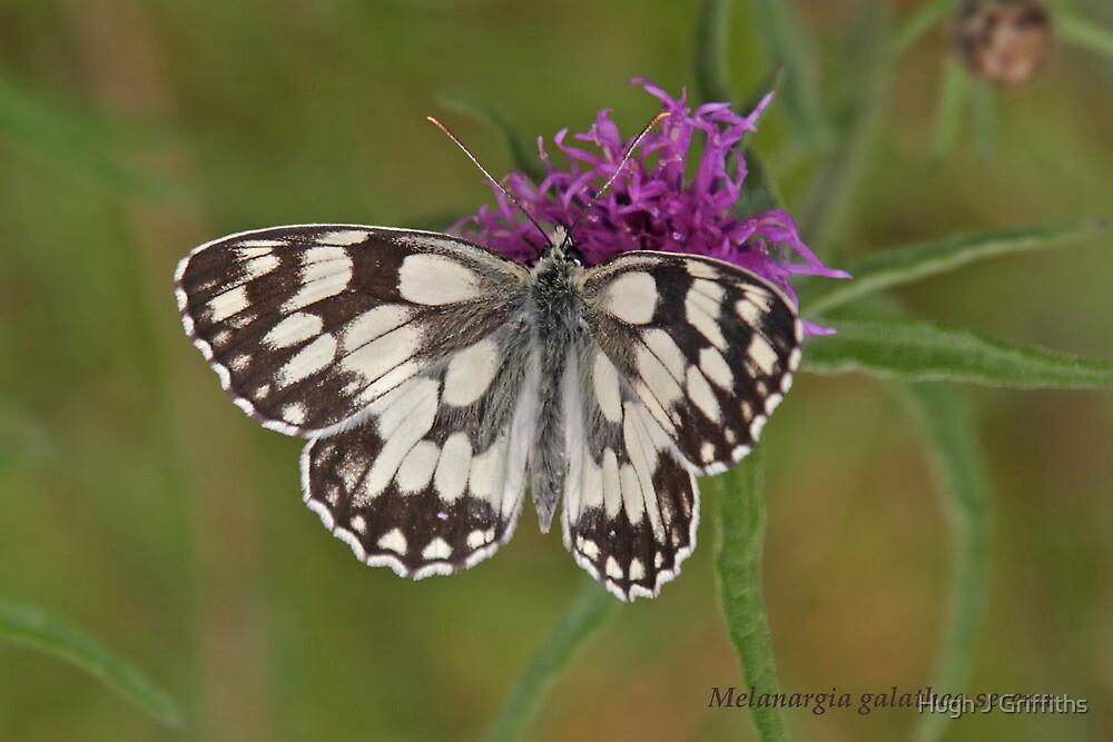 Marbled White butterfly by Hugh J Griffiths