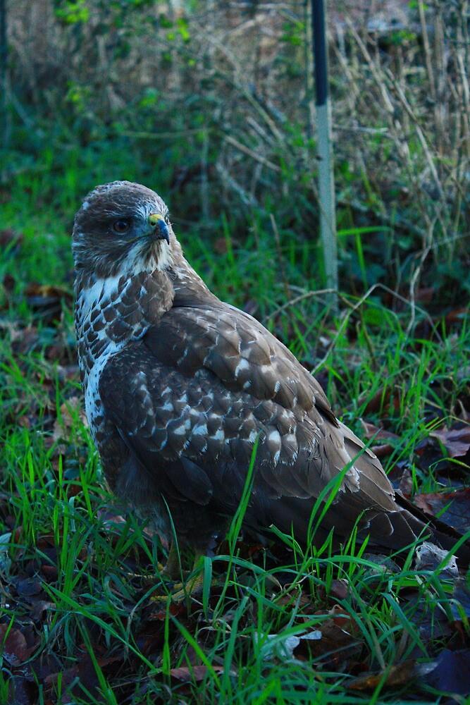 buzzard by scott hanham