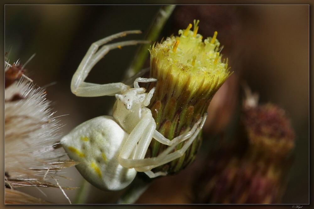 White Crab Spider by magal
