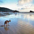 Kangaroo, Cape Hillsborough, Queensland by Andrew Goodall