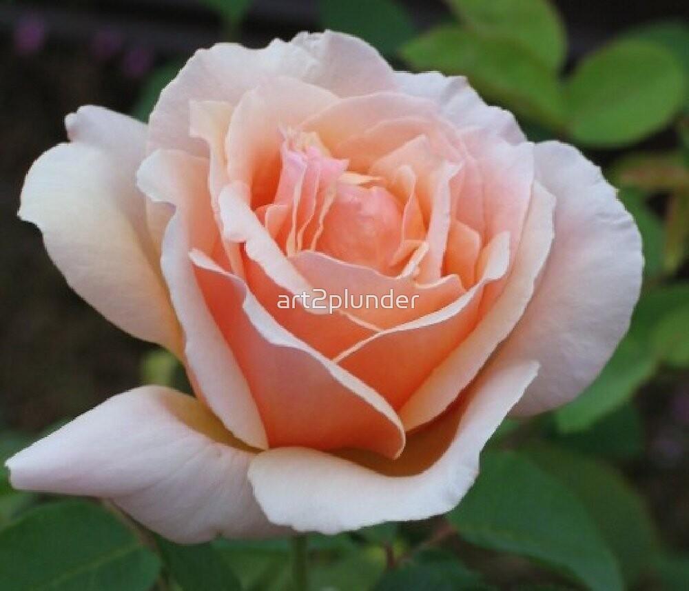 Light Pink Rose Bloom by art2plunder